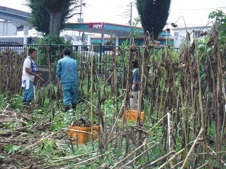 ひまわりの種の収穫